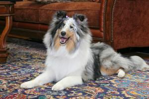 dog-on-oriental-rug